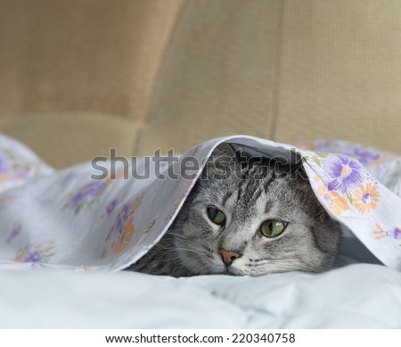 Cat, cat in a bed, cat hiding in a bed, playing cat, cat under the cover, cute funny cat close up, domestic cat, cat portrait, cat head only