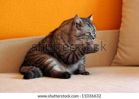 Cat cleaning himself sitting on a sofa