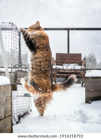 Cat climbing to get away from snow.  Multicolored female kitty discovered not liking the snow on patio or balcony. Cat is standing on one hindleg while reaching out with front paws. Selective focus. Stock fotó ©