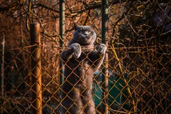 Cat climbs over the fence, British Shorthair cat (British Blue), landscape