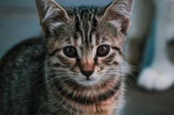Cat close-up Portrait. Small Tabby Kitten. Homeless Cat. Brown Tone. Animal Protection and Adoption Concept. Portrait of a Gray Stray Cat with Brown Eyes Looking Straight Ahead