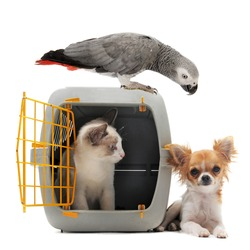cat closed inside pet carrier, parrot and chihuahua isolated on white background