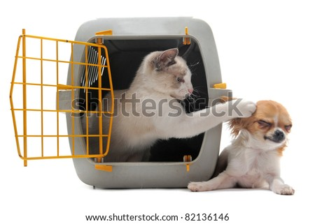 cat closed inside pet carrier playing with a chihuahua isolated on white background