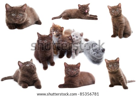 Cat collection isolated on white background. The British kittens are playing, sitting, lying