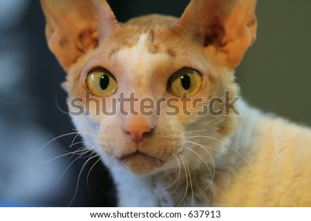 Cat (cornish rex) - stock photo