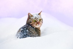 Cat cowered with snow, sitting in snowdrift
