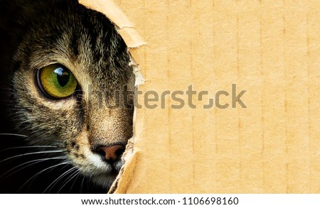 cat curiously looks out from a dark hole in a cardboard box, photo with an open background.