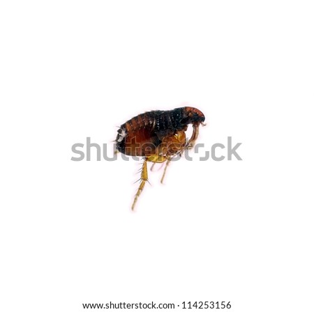 Cat, dog flea - Ctenocephalides canis, macro over white