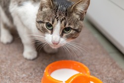 cat drinking milk from a bowl big eyes home