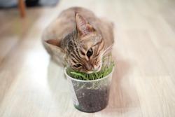 cat eat grass