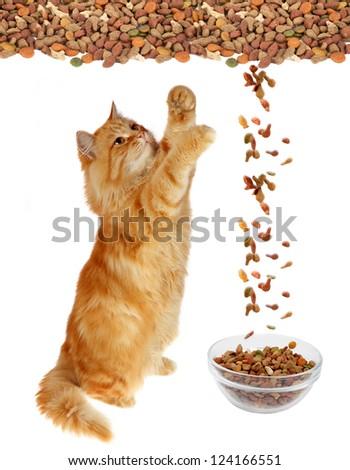 Cat eating dry cat food