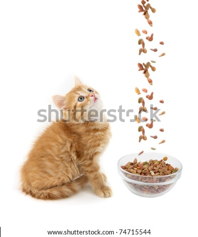 Cat eating dry cat food
