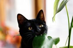 Cat eating plant. Black Cat eating monstera plant.