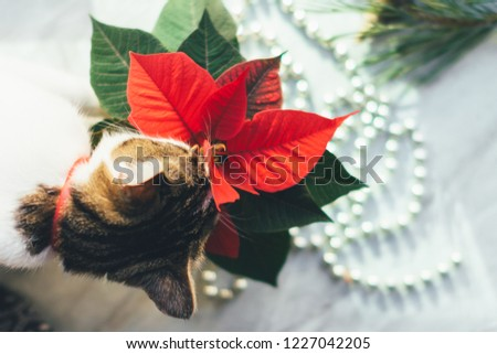 Cat eats poinsettia. Cozy Christmas background. Funny pet picture