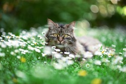 Cat enjoys spring in the garden. Cat outtdoor between flowers.