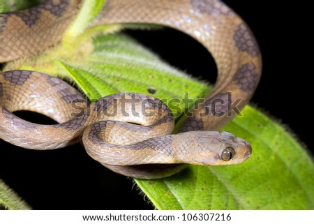 Cat-eyed Snake (Leptodeira annulata) in the Ecuadorian Amazon