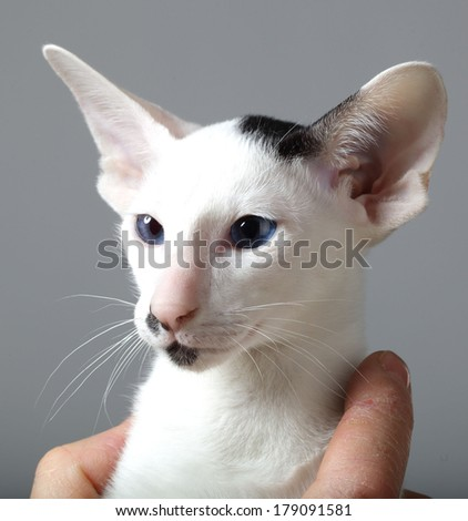 cat face on the entire frame. blue eyes on a white background. Oriental cat breed photo
