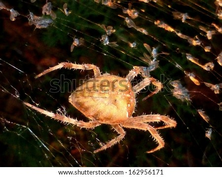 Cat face orb-weaver spider Araneus gemmoides with gnat-filled web, dorsal view