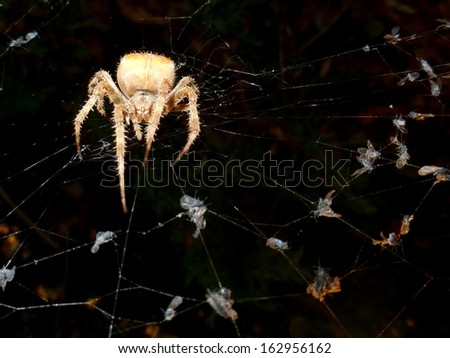 Cat face orb-weaver spider Araneus gemmoides with gnat-filled web, front view