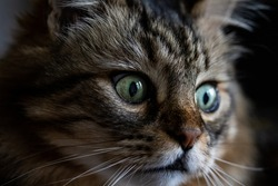 Cat face portrait. Long-haired cat with light in the eyes. Pet portrait,with face details. Cat looking down in shadow. Furry pet picture with big eyes