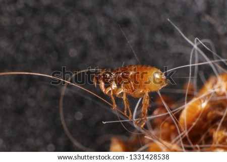 Cat flea (Ctenocephalides felis (Bouche, 1835)) in a cat's hair clump