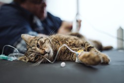Cat gets a drip in a veterinary clinic.