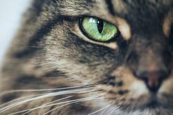 Cat Girl with Green Eyes Close Up. Breed of cat Norsk Skogkatt also Skogkatter and Skovkatter or Wegie