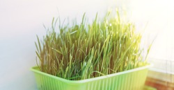 Cat grass for feeding domestic cats on a white windowsill.