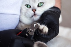 Cat grooming. A white British cat has its nails trimmed.