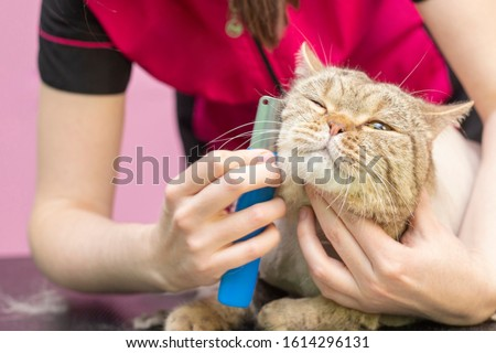 Cat grooming, combing wool. Express molt. Beautiful cat in a beauty salon. Grooming animals, combing hair. master of grooming cats.