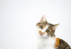 cat have collar and portrait studio on white background.