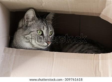 Cat hiding in paper box, curious cat in the box, playing cat, cat playing at home, serious cat, cat inside, desaturated photo