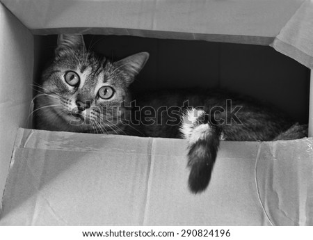 Cat hiding in the box in black and white photo, cat in the box,  curious cat, B&W photo, young beautiful cat