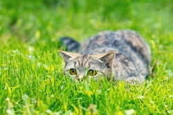 Cat hiding in the grass in summer