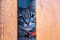 Cat hiding. Tabby gray kitten hidden behind a wooden window. Domestic pet with green eyes and red collar, Afraid and curious feline looking at the camera, closeup view.
