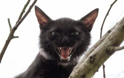 Cat hisses and scary-looking face looking at the camera from high up in a branch close up view, very aggressive and dangerous cat emotion, small Dracula like fangs and mouth open wide open.