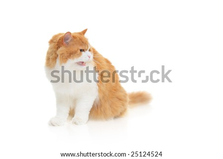 Cat hissing against white background