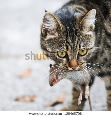cat holds the caught mouse in teeth Сток-фото ©
