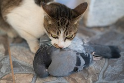 Cat hunter and bite a bird on the ground.A kitten and a Pigeon. Pet kills birds and eats them. The kitty is a predator. The young hunter. The world of cats.