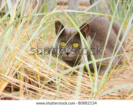 Cat hunting in the grass.