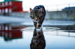Cat hunting searching mouse in the water with beautiful reflection during a sunset kitten.