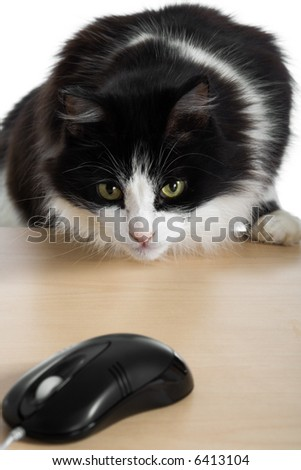 Cat hunts for the computer mouse