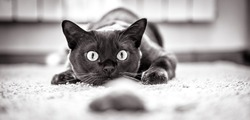 Cat hunts to mouse at home, funny kitten plays indoor, domestic cat face before attack. Look of happy cat preparing to jump, pet wanting to pounce. Black and white panoramic photo of playful cat.