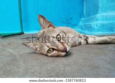 cat image ,this is a domestic cat.Vocalizing domestic cat. #1387760813