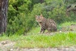 Cat in nature , mountain cat