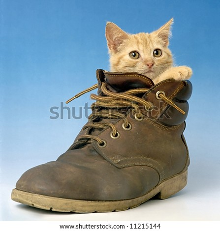 cat in shoe