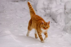 Cat in snow on winter walk. Beautiful ginger cat on snow winter background. Winter portrait of red cat on snow outdoor. Kitten in snow against backdrop of snowflakes during winter. Domestic pet animal