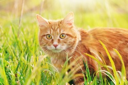 Cat in the Green Grass in Summer. Beautiful Red Cat with Yellow Eyes