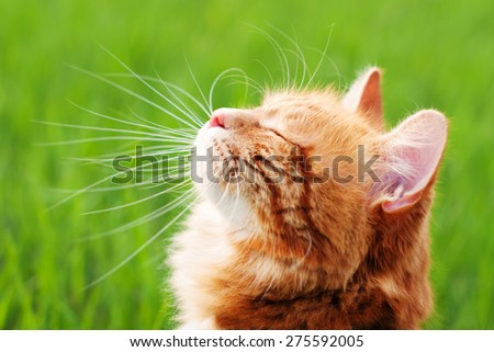 Stock Photo Cat in the Green Grass in Summer. Beautiful Red Cat with Yellow Eyes