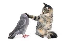 cat irons a paw of a pigeon on a white background